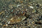 Welander's Flathead (Sorsogona welanderi)