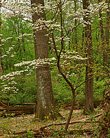 Dogwood tree in bloom. Image taken with a Fuji X-H1 camera and 60 mm f/2.4 macro lens.