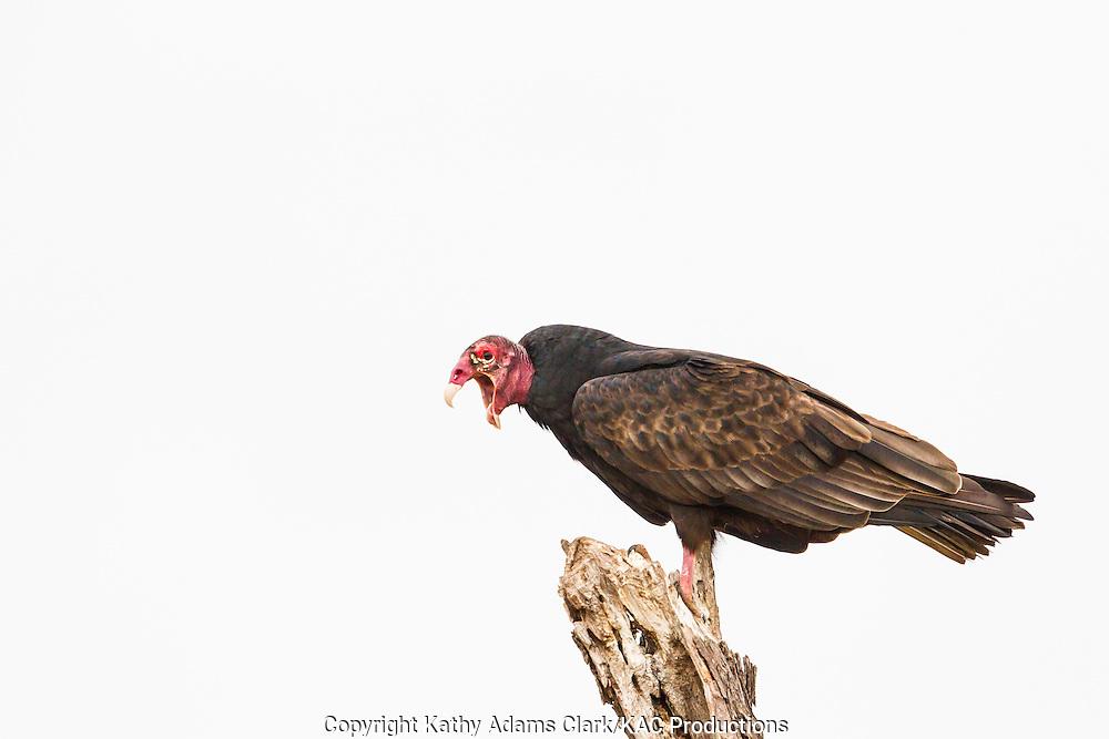 Turkey vulture, Cathartes aura, perched, coughing, San Jose Ranch, near Laredo, Texas.