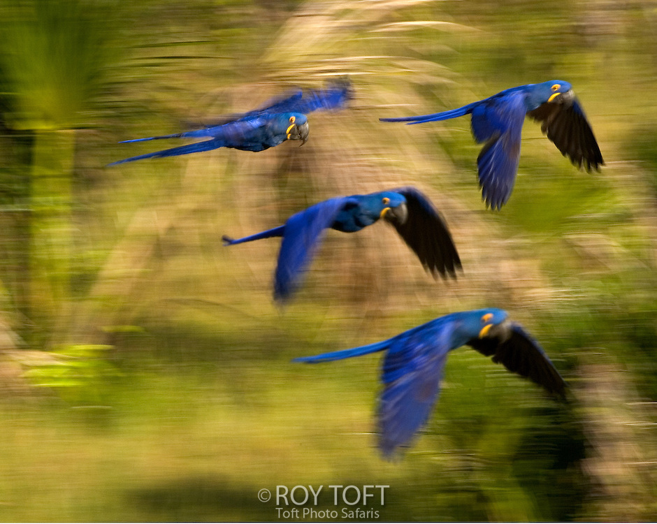Flock of blue Hyacinth Macaws in flight, Brazil.