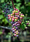 Vineyard grapes on the vine, Cape Cod, Massachusetts, USA