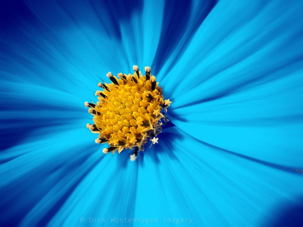 Blue colored cosmea blossom.<br /> Prints: http://society6.com/DirkWuestenhagenImagery/Callicarpa-Berries_Print