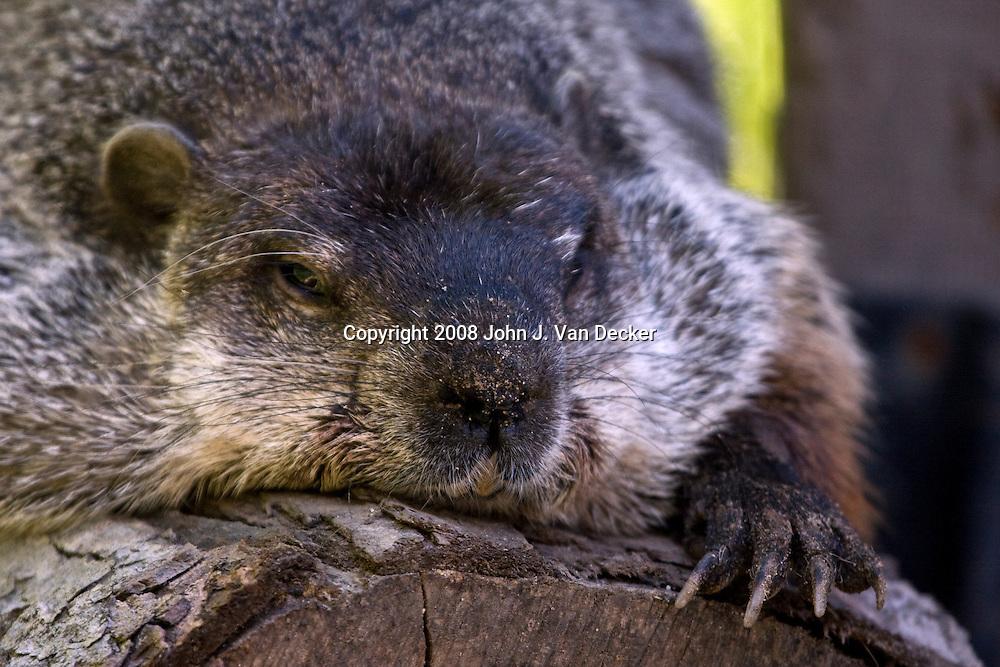 Groundhog laying on log bored