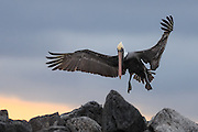 Brown pelican in for landing by synset at Galapagos | Brunpelikan inn for landing ved solnedgang på Galapagos.