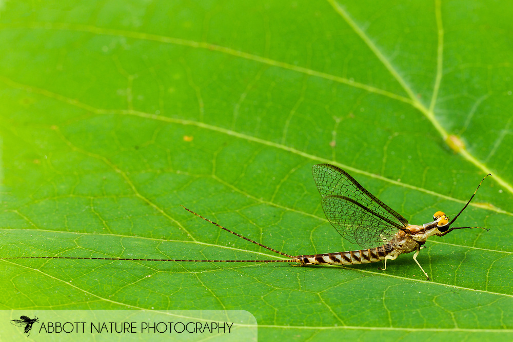 Common Burrowing Mayfly (Hexagenia limbata) male<br /> ALABAMA: Tuscaloosa Co.<br /> Tulip Tree Springs off Echola Rd.; Elrod<br /> 25-May-2016<br /> J.C. Abbott #2819 &amp; K.K. Abbott