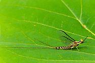 Common Burrowing Mayfly (Hexagenia limbata) male<br /> ALABAMA: Tuscaloosa Co.<br /> Tulip Tree Springs off Echola Rd.; Elrod<br /> 25-May-2016<br /> J.C. Abbott #2819 &amp; K.K. Abbott
