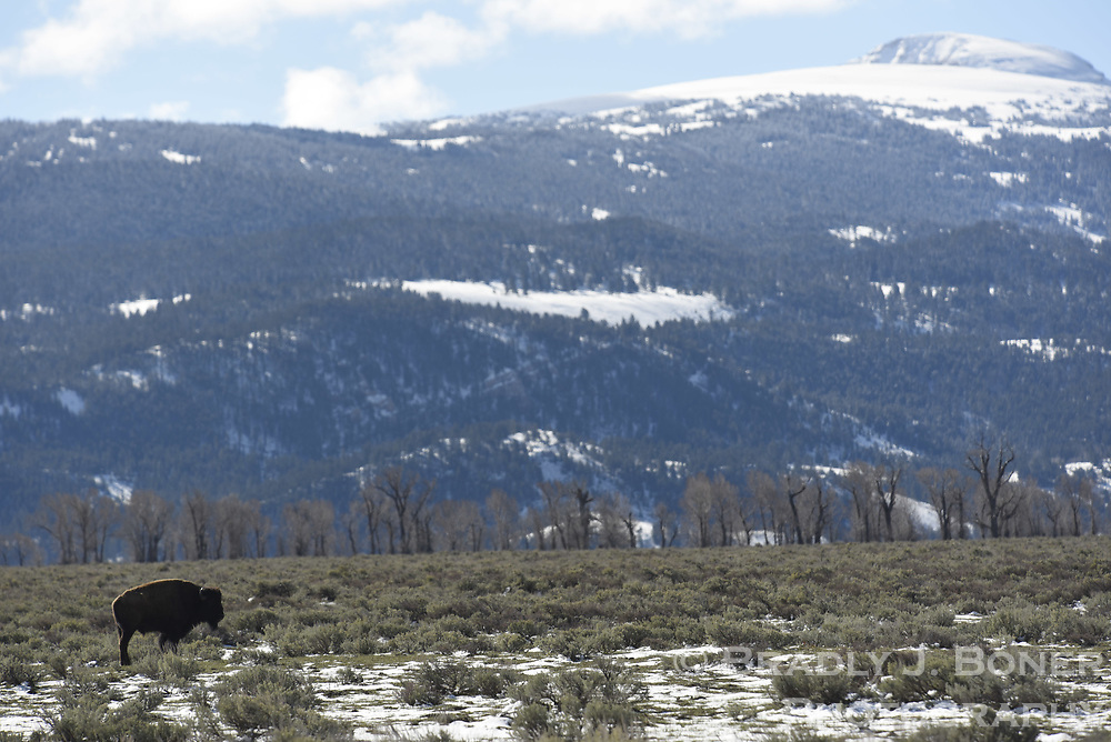 Bison on Antelope Flats, Grand Teton National Park, Wyoming