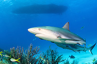 Caribbean Reef Sharks and Dive Boat<br /> <br /> Shot in Bahamas