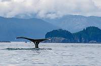 Humpback Whale fluke at the Inian Islands in Icy Straits, Alaska.