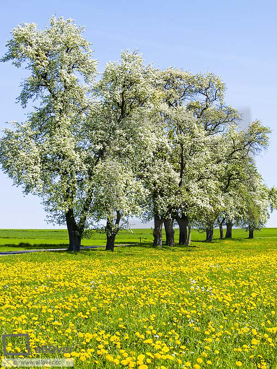 Dandelion pasture, pear tree in blossom, Austria, Lower Austria, Mostviertel