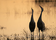 Sandhill Crane pair singing together as the day ends