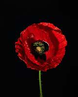 Red Poppy Flower. Backyard spring nature in New Jersey. Focus stacked composite of 15 mages taken with a Nikon Df camera and 105 mm f/2.8 VR macro lens and SB-910 flash(ISO, 105 mm, f/4, 1/60 sec). Images processed with Capture One and Helicon Focus (average, radius 8, smoothing 4)