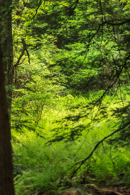 Benton, PA, USA - June 15, 2013: Green forest floor in Ricketts Glen State Park.