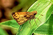 Zebulon's skipper would wings partly folded on a leaf