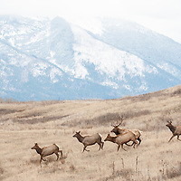 bull and cow elk running with mountain background