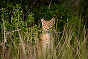 Bobcat at marsh's edge beneath eagle nest, during stalking of raccoon family.