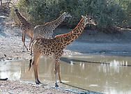 Ox-peckers (Buphagus erythrorhyncus) on Massai Giraffes (Giraffa camelopardalis) in Tarangire National Park, Tanzania, Africa