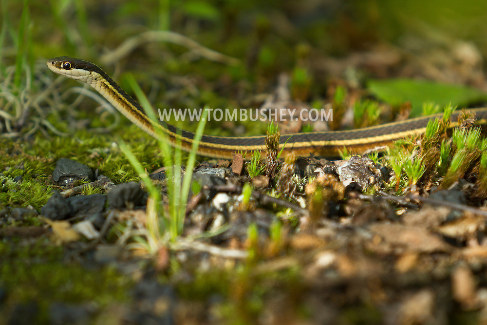 Mamakating, New York - A snake at the Bashakill Wildlife Management Area on May 2, 2013.