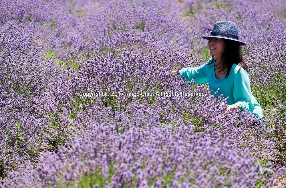 People visit the blooming lavender in the fields at 123 Farm in Cherry Valley during the 13rd Annual Lavender Festival in Riverside, California, June 17, 2017.(Photo by Ringo Chiu)<br /> <br /> Usage Notes: This content is intended for editorial use only. For other uses, additional clearances may be required.