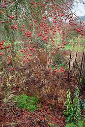The berries of Malus hupehensis - Hupeh crab apple -syn. Malus theifera, Pyrus malus theifera with sedum and Digitalis ferruginea seedheads