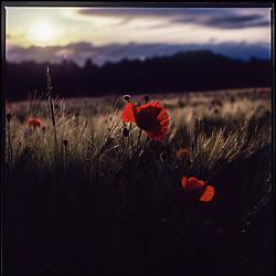 Red poppy, backlit, captured on Fujichrome VELVIA 50 film using a Hasselblad 500 cm camera.