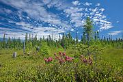 Bog laurel (Kalmia sp) blossoms in spruce bog <br />Rouyn-Noranda<br />Quebec<br />Canada