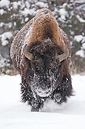 A dominant bull bison paws at the snow, alerting other bulls in the herd that he's not to be challenged.  Understanding this clear message, the bulls gave him a wide berth.  Wouldn't you?