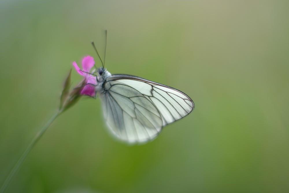 Black-veined White butterfly, Aporia crataegi, on Pink, Dianthus sp.. Mountain pasture, Mount Baba (1635 m) in Galicica National Park. Stenje region, Lake Macro Prespa (850m) <br /> Galicica National Park, Macedonia, June 2009<br /> Mission: Macedonia, Lake Macro Prespa /  Lake Ohrid, Transnational Park<br /> David Maitland / Wild Wonders of Europe