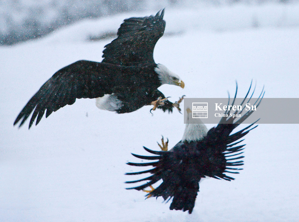 Bald Eagle fighting on snow, Haines, Alaksa, USA
