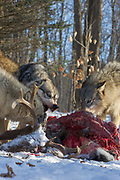 Gray wolves fight over a deer carcass in wooded winter habitat. Captive pack.
