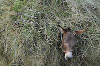 Donkey with hay-load. Lake Prespa National Park, Albania June 2009