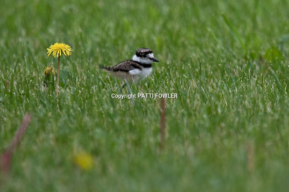 juvenile Killdeer in grass by dandelion