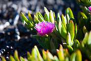 Ice plant along the Central Coast of California, Point Piedras Blancas.