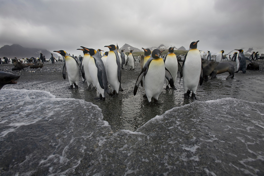 Antarctica, South Georgia Island (UK), King penguins (Aptenodytes patagonicus) approaching surf along Rosita Harbour near Salisbury Plains