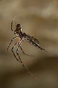 Spider caught a female Fungus gnats (Arachnocampa luminosa). Glowworm cave near Waitomo Cave, New Zealand. Close to Te Kuiti. The  larvae of the fungus gnats of the species Arachnocampa luminosa are bioluminescent and feed on the light-attracted insects that get entagled in their sticky silk threads. | Die Pilzm&uuml;cken der Art Arachnocampa luminosa sind keine guten Flieger. Ihr nur eine knappe Woche dauerndes, gefl&uuml;geltes Erwachsenenstadium dient lediglich der Paarung und Eiablage. In dieser Lebensphase laufen die in H&ouml;hlen und unter windgesch&uuml;tzten &Uuml;berh&auml;ngen lebenden Tiere Gefahr, zur Beute von Spinnen zu werden. Zuvor war die M&uuml;cke f&uuml;r die Dauer von bis zu einem Jahr als Made selbst in der Lage, mit Hilfe von selbstgesponnenen Seidenf&auml;den Jagd auf fliegende Insekten zu machen.<br /> Arachnocampa luminosa ist eine von etwa 3000 Pilzm&uuml;ckenarten weltweit und lebt an feuchten, dunklen Stellen (H&ouml;hlen und &Uuml;berh&auml;nge) in Neuseeland. Die Waitomo Cave und H&ouml;helsysteme nahe der Ortschaft Te Kuiti sind bekannt f&uuml;r die leuchtenden Larven.