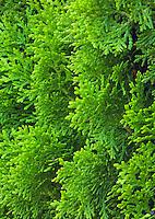 Closeup of an Juniper shrub