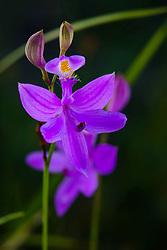 Grass Pink orchid, Calopogon tuberosus, wild native orchid, Texas, Watson Rare Plant Preserve, East Texas, plant, bog, pine savanna,