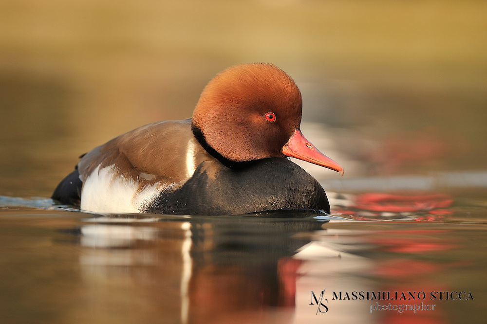 The Red-crested Pochard (Netta rufina) is a large diving duck. Its breeding habitat is lowland marshes and lakes in southern Europe and Central Asia, wintering in the Indian Subcontinent and Africa. It is somewhat migratory, and northern birds winter further south into north Africa..The adult male is unmistakable. It has a rounded orange head, red bill and black breast. The flanks are white, the back brown, and the tail black. The female is mainly a pale brown, with a darker back and crown and a whitish face. Eclipse males are like females but with red bills. They are gregarious birds, forming large flocks in winter, often mixed with other diving ducks, such as Common Pochards. They feed mainly by diving or dabbling. They eat aquatic plants, and typically upend for food more than most diving ducks..Red-crested pochards build a nest by the lakeside among vegetation and lay 8-12 pale green eggs. The birds' status in the British Isles is much confused because there have been many escapes and deliberate releases over the years, as well as natural visitors from the continent. However, it is most likely that they are escapees that are now breeding wild and have built up a successful feral population. They are most numerous around areas of England including Gloucestershire, Oxfordshire and Northamptonshire. The Red-crested Pochard is one of the species to which the Agreement on the Conservation of African-Eurasian Migratory Waterbirds (AEWA) applies.
