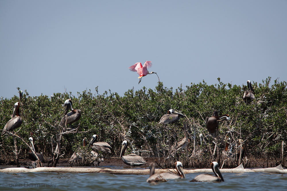 5/24/2010 Brown Pelicans and Spoonbills,   on Cat Island, a barrier island  in Plaquemines Parish, that was exposed to BP oil that washed up on the shore. Protective  boom was set up after the fact by subcontractors hired by BP to protect the bird rookery on the island, however it didn't stop the oil from contaminating the island.