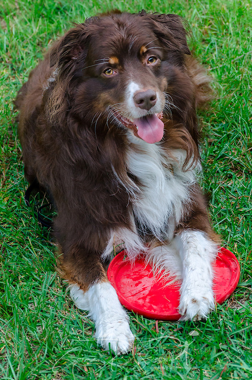 Cowboy, a six-year-old, red tri Australian Shepherd, takes a break from playing frisbee, Aug. 21, 2014, in Coden, Alabama. (Photo by Carmen K. Sisson/Cloudybright)