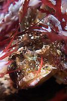 Long-spined Seascorpion, Taurulus bubalis, with a skeleton shrimp (Caprellidae) on the cheek. Atlantic marine life, Saltstraumen, Bodö, Norway