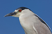 Black-crowned Night Heron, California, North America
