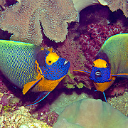 Yellow-mask Angelfish inhabit reefs. Picture taken Raja Ampat, Indonesia.