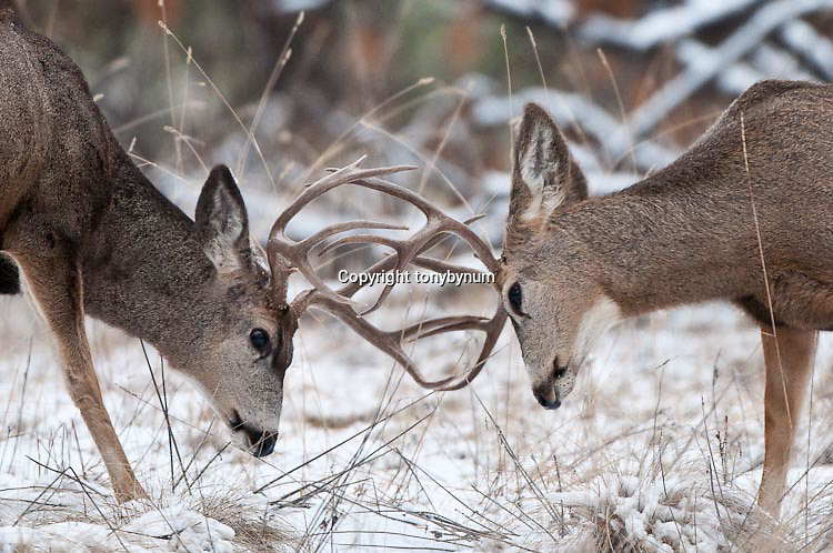 two muledeer bucks fighting clashing antlers, sparring, conflict