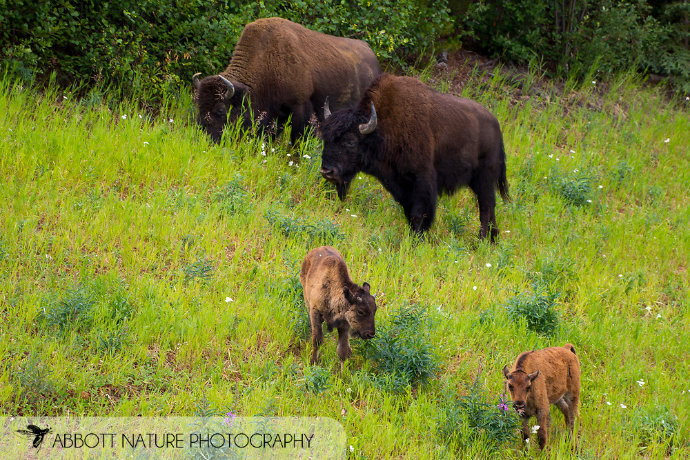 Wood Bison, Mountain Bison, Wood Buffalo or Mountain Buffalo (Bison bison athabascae) cows with calves<br /> CANADA: British Columbia (Stikine Region)<br /> along Alaska Highway<br /> 18-July-2012<br /> J.C. Abbott &amp; K.K. Abbott