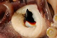 Humboldt squid, Dosidicus gigas, beak, Sea of Cortez, Mexico