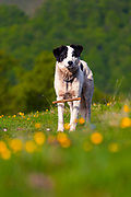 White dog with black ears on a mountain meadow