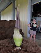 "Ellen Langford can't believe her eyes when she first see's the Titan Arum known  locally as ""Spike"".  Like the Carly Simon song says...""Anticipation ... is keeping me waiting""  and ""Spike"" the titan arum has us anticipating full flowering soon. Spike has held steady today at 65 inches in height, another indication that flowering can happen at any time now! The bloom lasts only about 24 hours and will not bloom again for many years, this will be the first time Spike has bloomed ever and it has taken over 9 years it is currently 65 inches tall. The largest flower in the world is commonly known as the Stink plant or corpse plant and smell  like rotting meat.Photo © Suzi Altman"