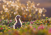 350602-1007 ~ Copyright:  George H. H. Huey ~ Western gull chick [Larus occidentalis] on Anacapa Island.  Channel Islands National Park, California.