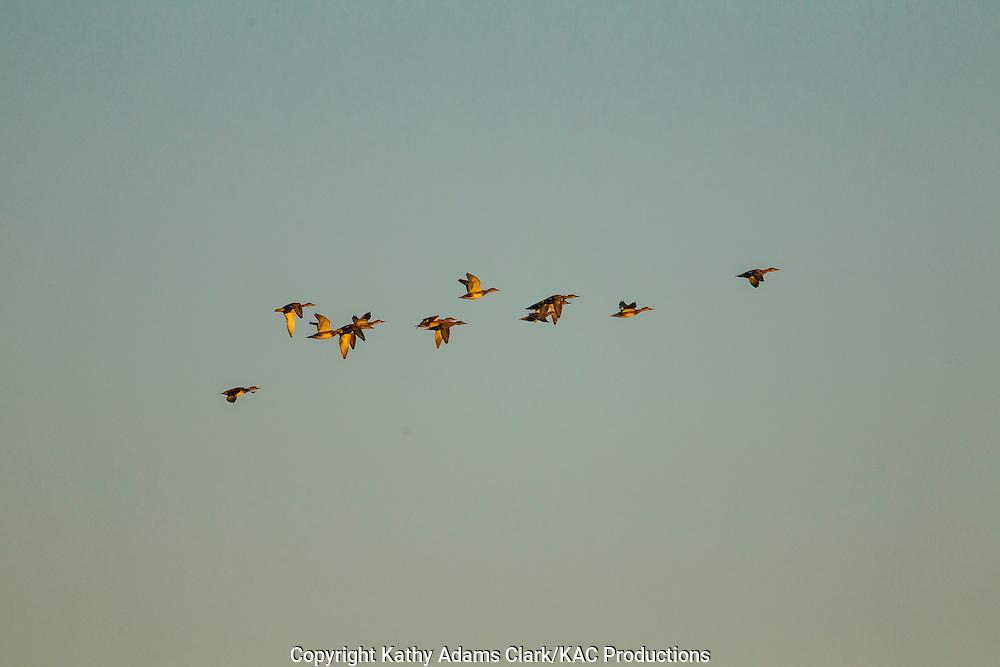 blue-winged teal, Anas discors, in flight, Katy Prairie, west Harris County, coastal prairie, Texas.